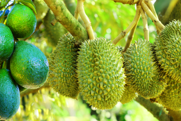 JVF'S NPK FERTILIZERS – AN EFFECTIVE SOLUTION FOR DURIAN AND AVOCADO IN CENTRAL HIGHLAND
